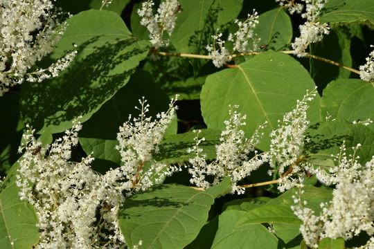 Bohemian (hybrid) knotweed