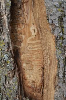 Emerald ash borer larval feeding gallery in ash tree