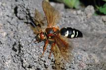 Cicada killer wasp, Jeff Hahn, University of Minnesota Extension