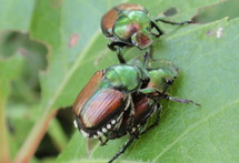 Japanese Beetles, Minnesota Department of Agriculture