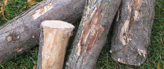 ash firewood on a grassy yard