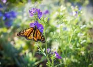 A Monarch butterfly on a flower.