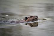 Beaver swimming.