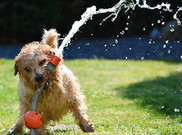 Dog with garden hose in its mouth.