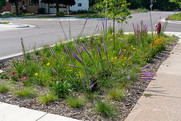 A boulevard tree trench with native plants.