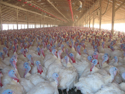 avian flu-turkeys