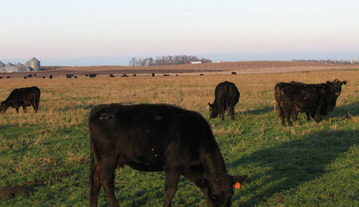 crop residue grazing