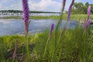 Buffer of native plants along lakeshore in Minnesota