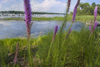 Buffer of native plants along lakeshore in Minnesota