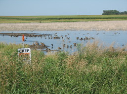 CREP restored wetland