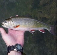 Brook trout in Zumbro River watershed in southeast Minnesota