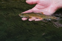 Brook trout photo from DNR