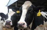 livestock ear tags