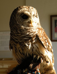 Owl at Tamarack Nature Center