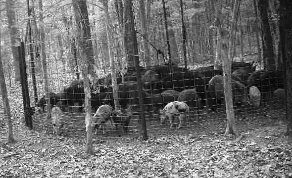 feral hogs in corral trap