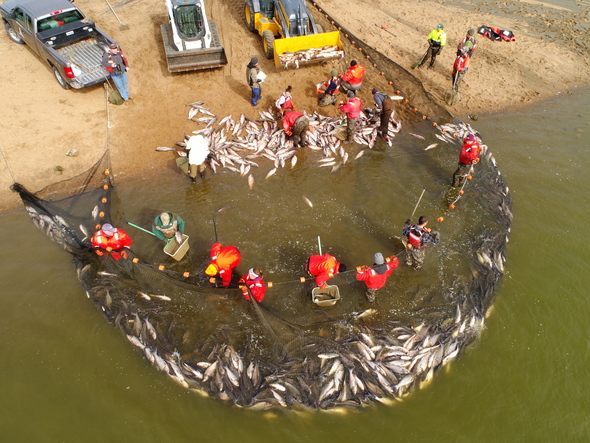 An       aerial view shows biologists bringing Asian carp to shore using       large nets