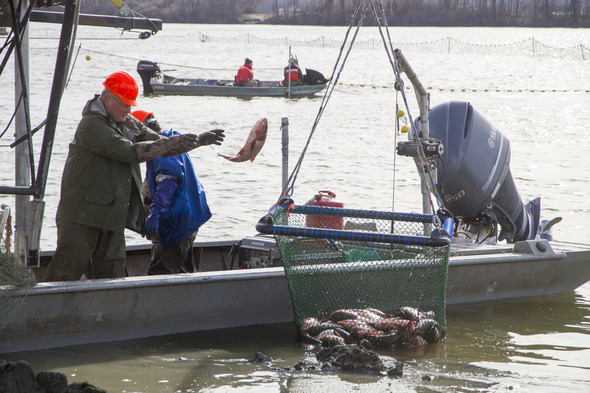 Biologists remove Asian carp from the water and place into a       crane-operated net for disposal