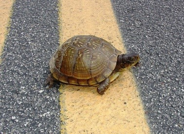 turtle crossing road