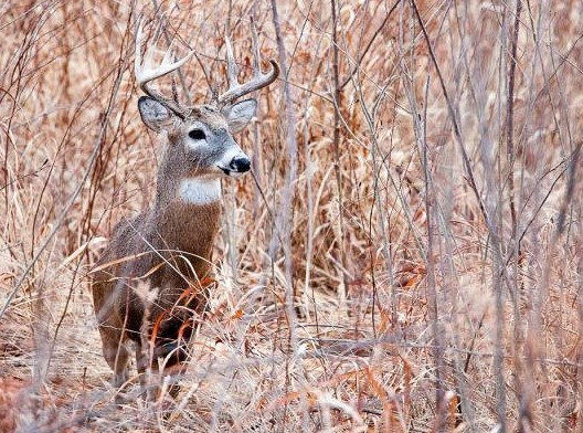 buck in field