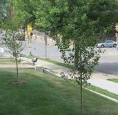 Urban Forestry Tree Program photo of green tree