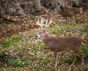 Buck walking across a field