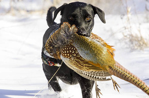 Labrador retriever carrying a pheasant.