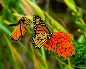 Monarch butterflies sipping from milkweed