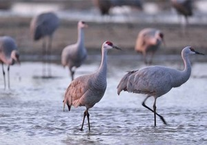 Sandhill cranes at Rowe Sanctuary