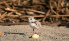 CWF Piping Plover Chick -Bill Dalton