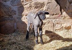 lamb frolic