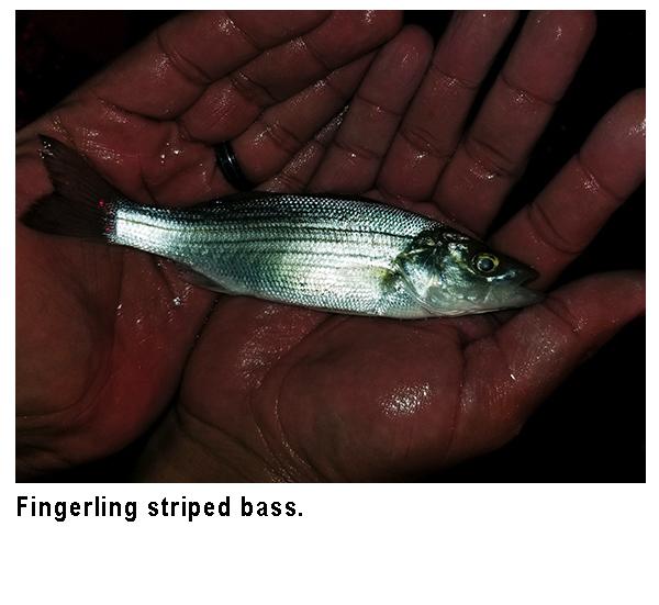 Fingerling Stripped Bass