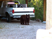 Bears and Drought