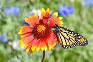 Monarch and gaillardia