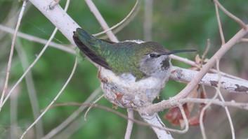 Anna's Hummingbird by Sheila Glennie