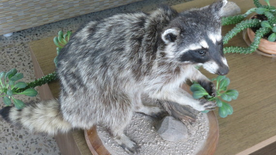 Taxedermy Raccoon