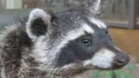 Taxedermy Raccoon face