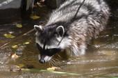 Raccoon in stream