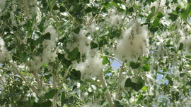 Cottony Seeds in of a Freemont Cottonwood Tree