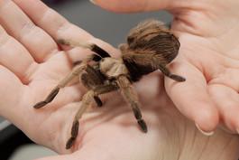 Tarantula being held