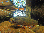 Underwater brook trout by Ed Ostapczuk