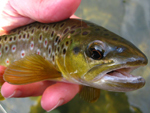 Wild brown trout from Wiscoy Creek