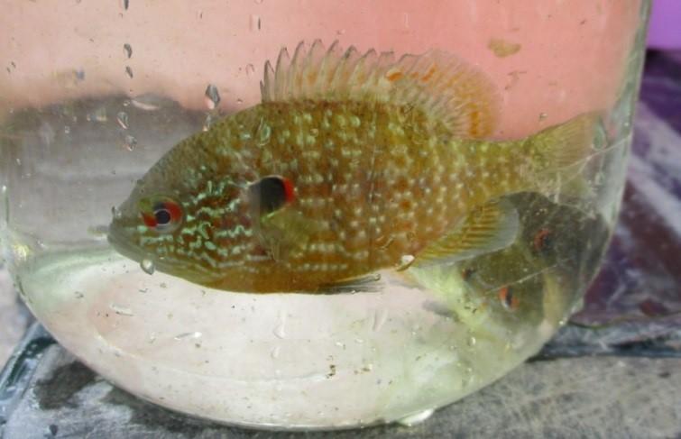 Northern Sunfish