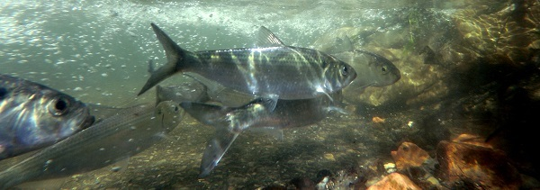 Alewives Return to Wynants Kill after dam removed