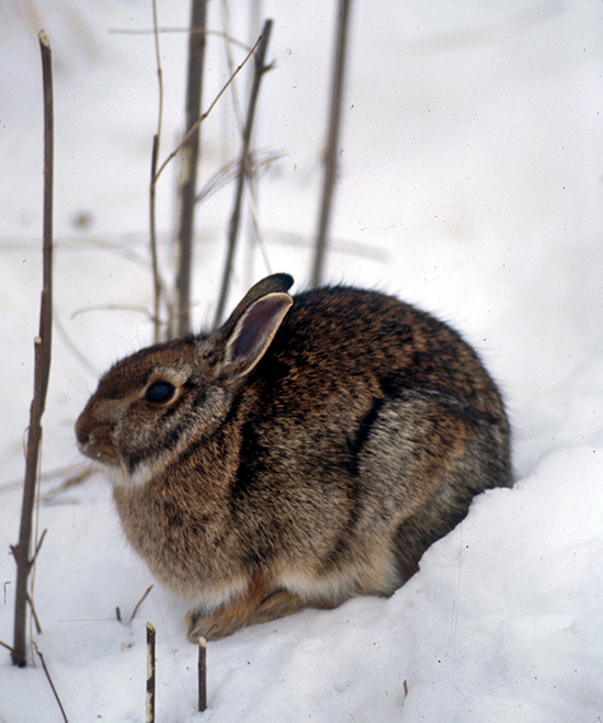 A cottontail rabbit in the snow