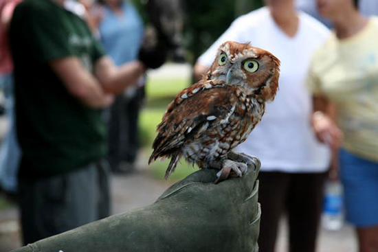 A red-phase eastern screech owl