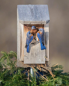 Bluebirds in a bluebird house