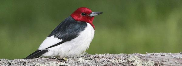 red-headed woodpecker - photo courtesy of Deborah Tracy-Kral