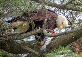 bald eagle eating striped bass