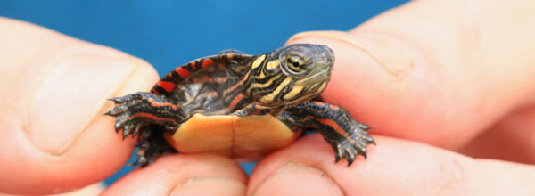 baby painted turtle - photo courtesy of Chris Bowser