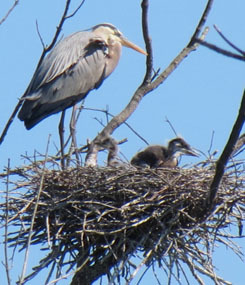 great blue heron nestling and adult